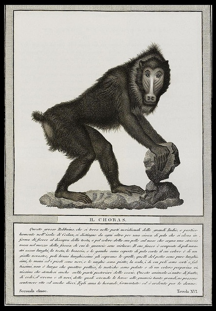 From Baron Von Nicolas Henri Jacob's 'Storia Naturale Delle Scimie' (Natural History of Apes), 1812