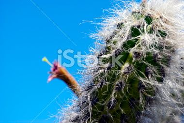 Cactus in Flower Royalty Free Stock Photo