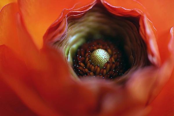 Center of a red ranunculus flower.
