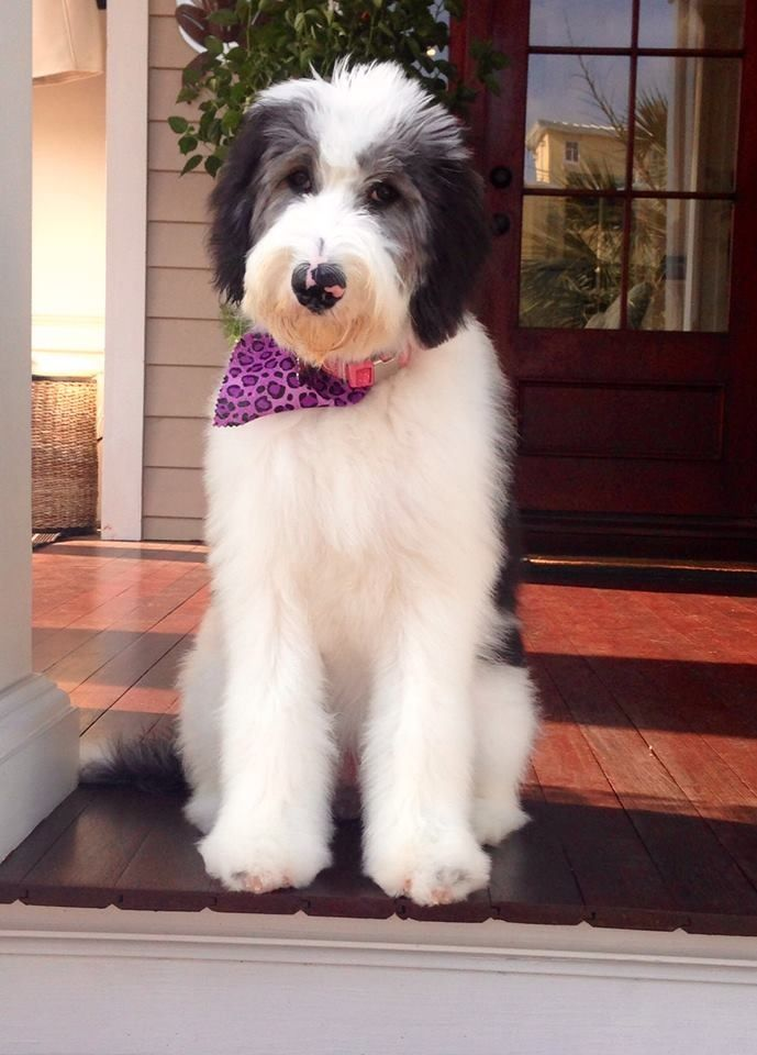 Lola the gorgeous sheepadoodle