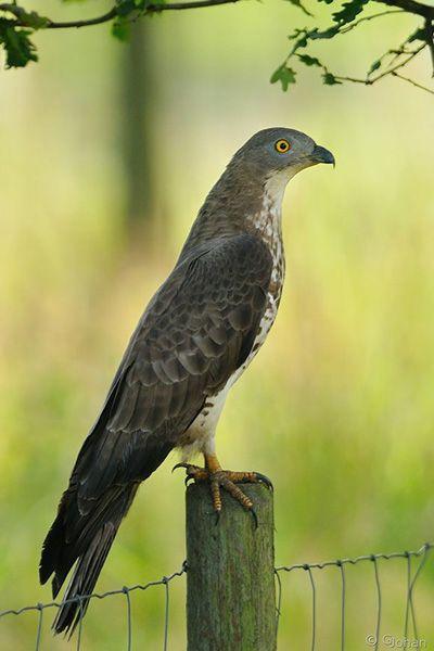 wespendief  /Pernis apivorus  http://nl.wikipedia.org/wiki/Wespendief  Wespendieven komen in de zomer in een groot deel van Europa voor, waaronder in Nederland en België. Uitzonderingen zijn het Verenigd Koninkrijk, Spanje en de Scandinavische kust. De vogel overwintert in West-Afrika, met name in Nigeria.