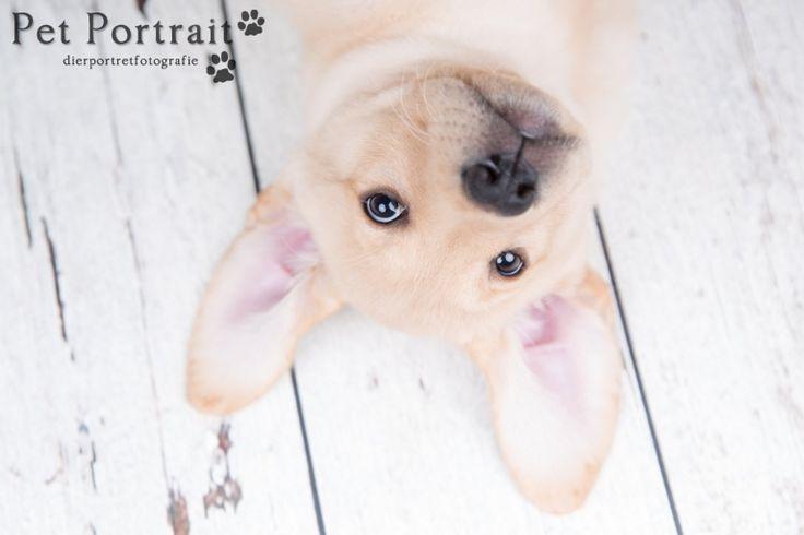 Hondenfotograaf Leiden - Labrador retriever pup Freyja-1