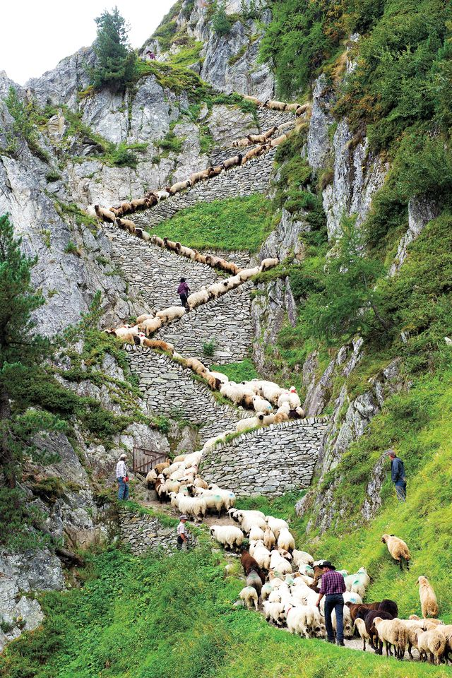 """fotojournalismus: """"  A flock of alpine sheep walk on a cliff path on the way from summer grazing high above the Aletschgletscher glacier down to Belalp in the canton of Valais on August 25, 2012,..."""