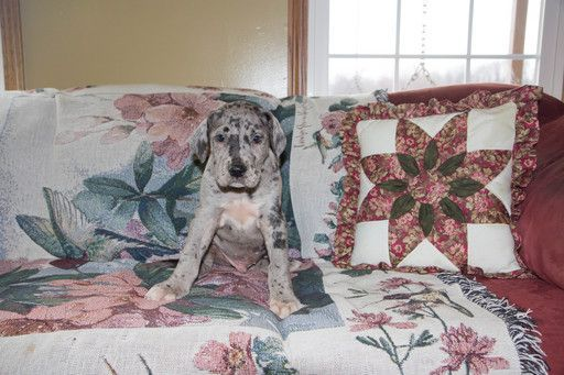 Great Dane Puppy For Sale In Cuyahoga Falls Oh Adn 71056 On