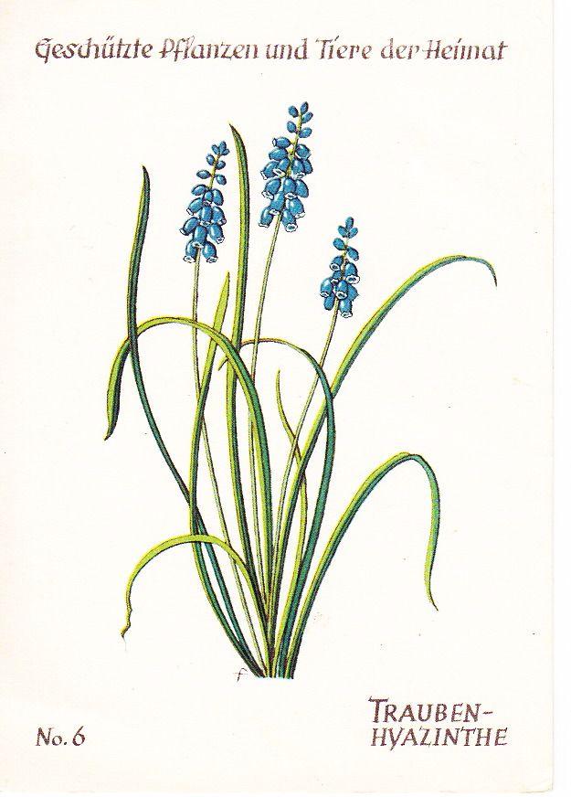 Grape Hyacinth (Trauben-Hyazinthe) from Germany via SwapBot.