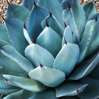 Parry's Agave (Agave parryi)Hardy from 10 degrees Fahrenheit, or minus 12 degrees Celsius, to minus 20 degrees Fahrenheit, or minus 29 degrees Celsius (zones 5 to 9), depending on the variety. Water requirement: Low; water monthly in summer; in low-desert regions, water twice a month in summer. Light requirement: Full sun to filtered shade. Mature size: 1½ to 3 feet tall and wide. Planting notes: Plant in well-drained soil in full sun or filtered shade.