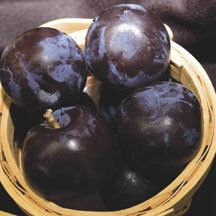 Black Ice Plum -zone 3- A large-fruited dessert plum with superior winter hardiness. Bred by Prof. Brian Smith of UW-River Falls who spent years crossing cherry plums with Japanese dessert plums. The large, round plums are blue-black with very sweet, juicy, yellow flesh. Fruit ripens in early August, about 2 to 4 weeks earlier than other plums grown in the Midwest. Naturally dwarf trees require a pollinator - We recomend Toka.
