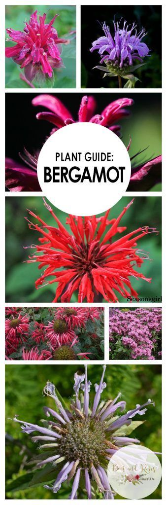 Plant Guide: Bergamot| Growing Bergamot, How to Grow Bergamot, Plant Care Tips and Tricks, Gardening, Gardening Hacks, Gardening Tips and Tricks, Perennial Gardening, Perennial Plant Care, Popular Pin #Gardening #Bergamot #Perennials