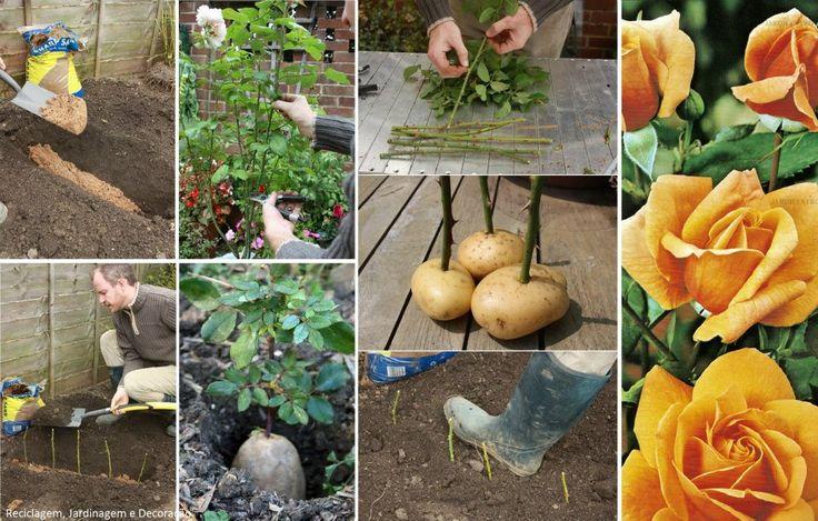 Para plantar roseiras por estacas, dica: Introduza a estaca em uma pequena batata e enterre, isto ajudará no enraizamento.  Fonte: http://www.amateurgardening.com/home/taking-rose-cuttings/