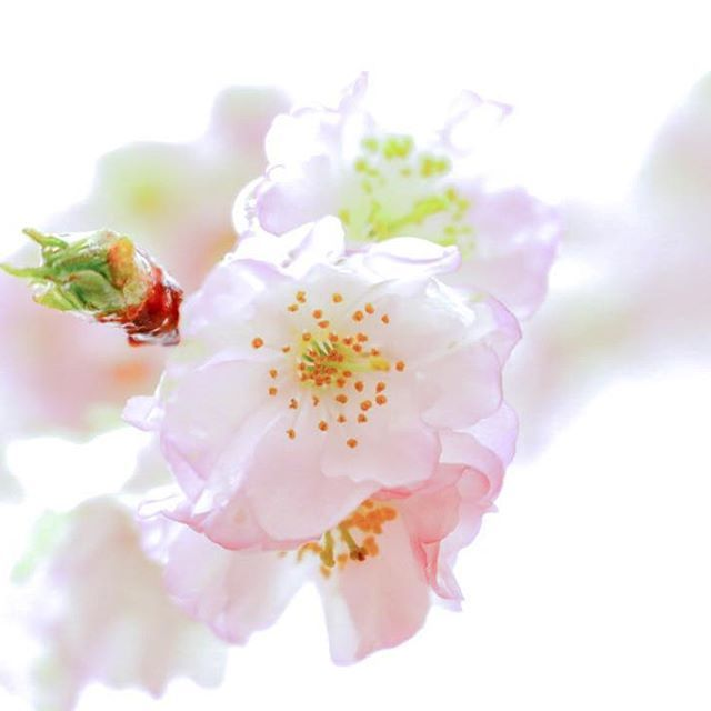 【milkjam22】さんのInstagramをピンしています。 《おばあちゃんが末期の時 群馬までの往復の車の中では エンドレスで聴いてたな 森山直太朗さんの「さくら」 (先ほどの投稿した同じpost、#タグ直してたら削除してしまってました)  #色とりどりの世界 #花 #ザ花部  #はなまっぷ #花撮り人 #花好きな人と繋がりたい #team_jp_flower #flower #flowers #ファインダー #ファインダー越しのわたしの世界#カメラ初心者 #東京カメラクラブ #tokyocameraclub #東京カメラ部 #カメラ好きな人と繋がりたい  #写真好きな人と繋がりたい #Canon #キヤノン #canoneos70d  #EOS70D#花の写真館 #wp_flower #wp_まっぷ花まつり #桜 #さくら #sakura》