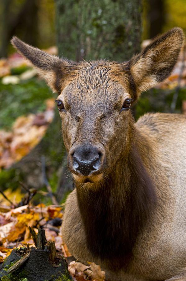Female Elk are referred to as cows, not does as in deer.