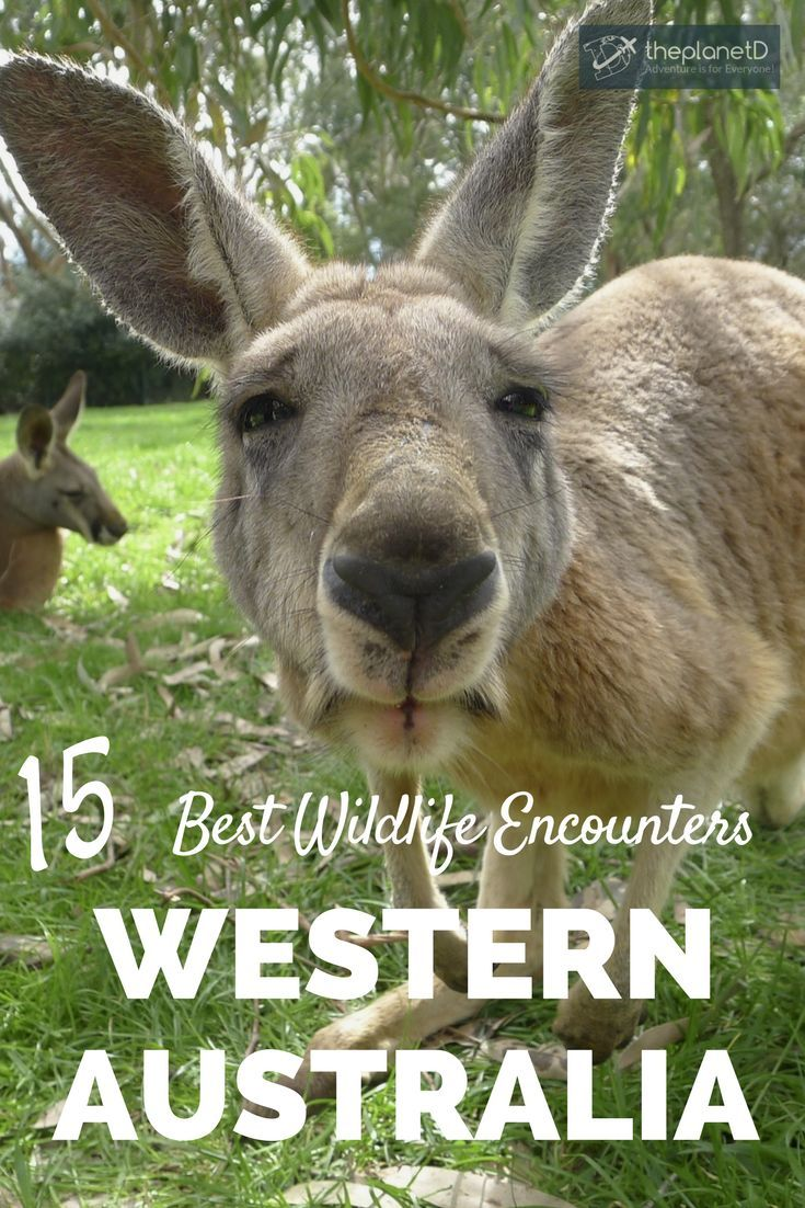 15 of the best wildlife encounters in Western Australia. From swimming with whale sharks to taking selfies with quokkas, these travel experiences should be on your Australia bucket list!   Blog by The Planet D: Canada's Adventure Travel Couple