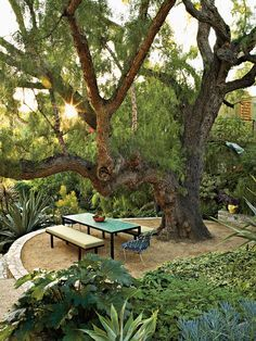 California pepper (Schinus molle)  tree is surrounded by acanthus, agave and other plants