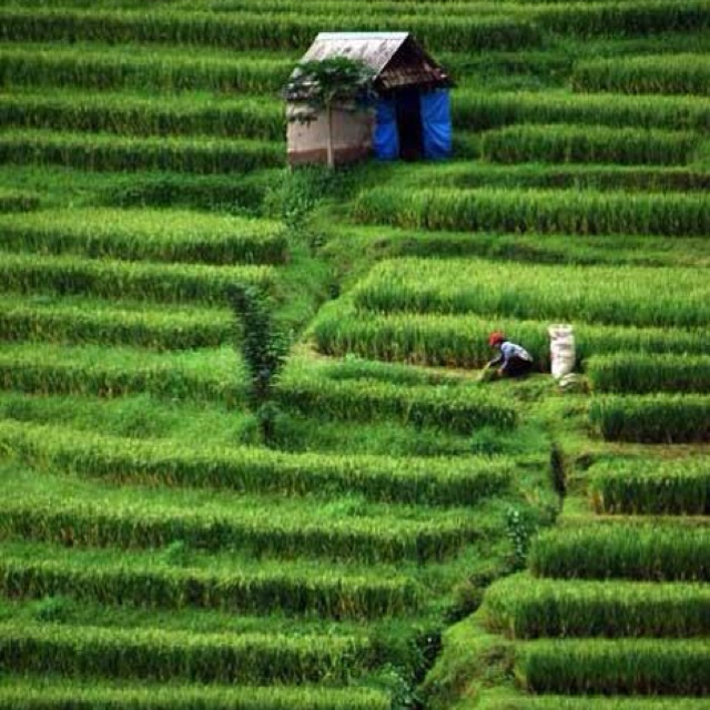 Rice Field #Indonesia #Nature
