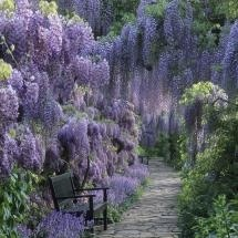 Wisteria in full bloom over stone path  Weinheim, Germany
