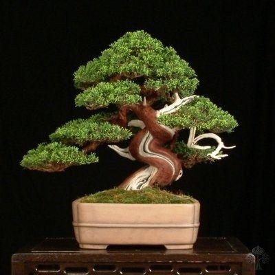 RK:Juniperus Chinensis bonsai