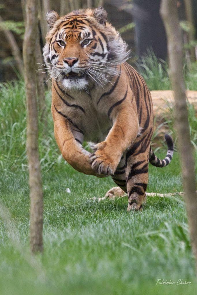 wildllife: Bangal tiger