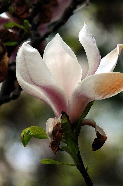 In love with all the Magnolia Blossom due to the wacky weather we're having.