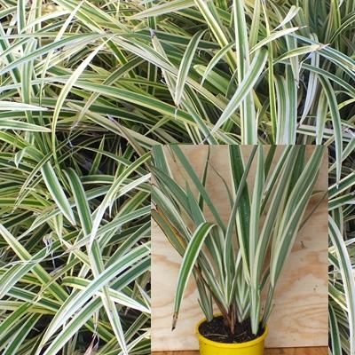 Dianella Border silver A very versatile low growing, variegated grass plant with spikes of small mauve star flowers. Great for underplanting and borders. Drought tolerant. H50cm W50cm