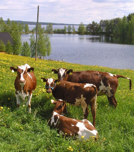 #Cows #Biomilk #Summer #Eating flowers