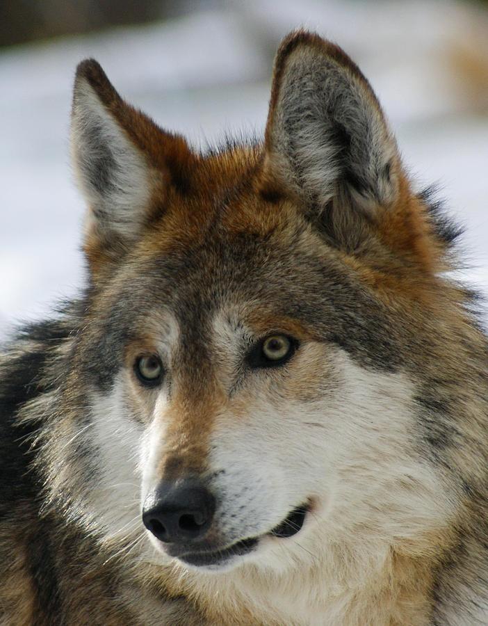 Mexican Grey Wolf Upclose by Ernie Echols