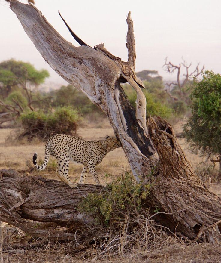 Cheetah in Amboselli National Park, Kenya.