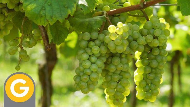 ABC Vinos - Capitulo 3: La madurez de la uva y la cosecha