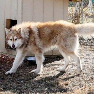 Malamute Wolf Mix 73 best ALASKAN...