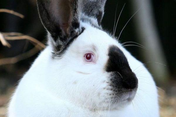 iepuri-rase-romanesti