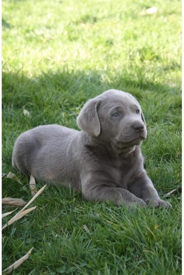 Silver Labrador Retrievers Hunde Achtung Bildhubsche Labrador