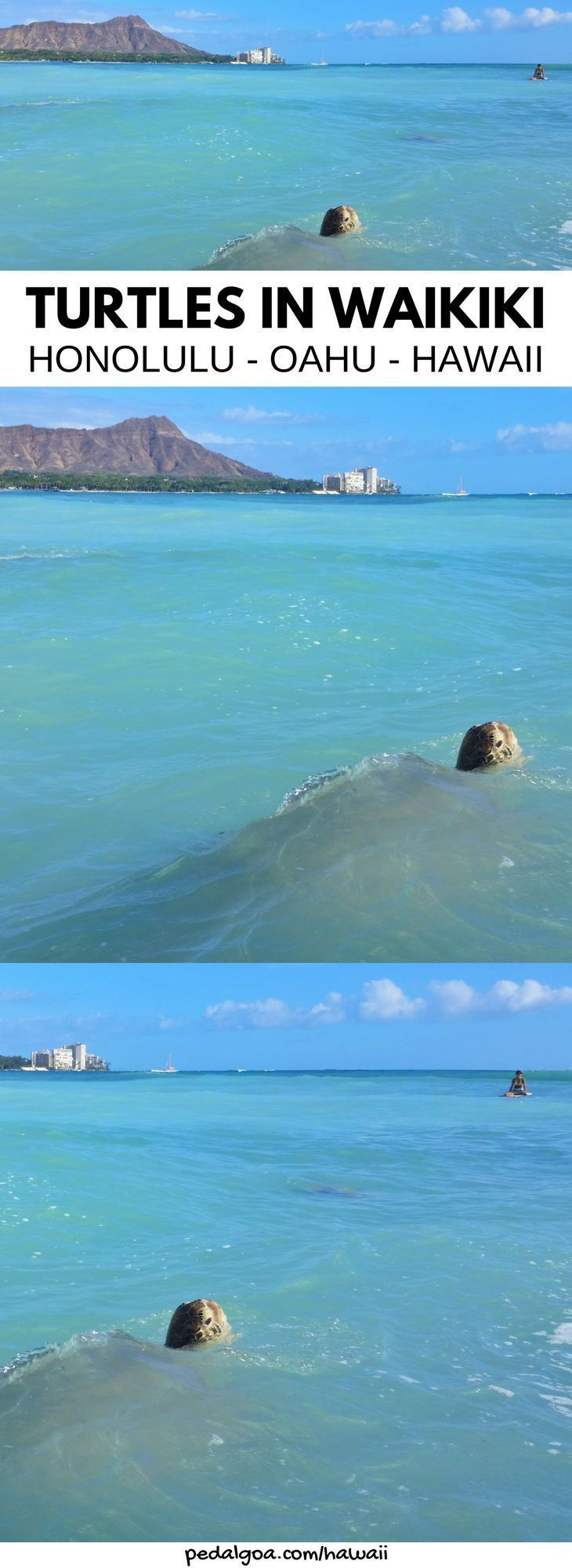 Turtles in Waikiki, Oahu, Hawaii. For where to see turtles on Oahu on Hawaii vacation, try Waikiki Beach near Outrigger Reef Hotel, Sheraton Waikiki, Hilton Hawaiian Village. Or, Turtle Beach aka Laniakea Beach on North Shore is one of the best Oahu beaches for turtles, and it has nearby swimming, snorkeling, hikes, waterfalls. Bucket list of things to do on Oahu. Honolulu or Waikiki drive! USA travel destinations for world adventures on a budget... #hawaii #oahu #TravelDestinationsUsaBudget