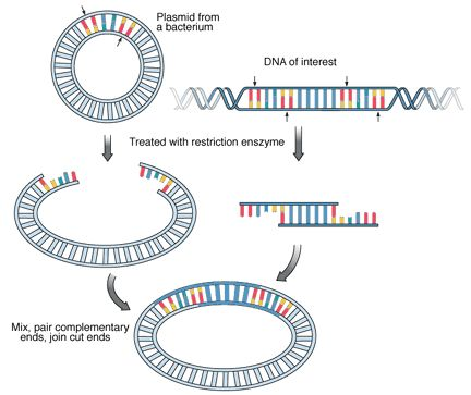 Recombinant DNA technology - Summary