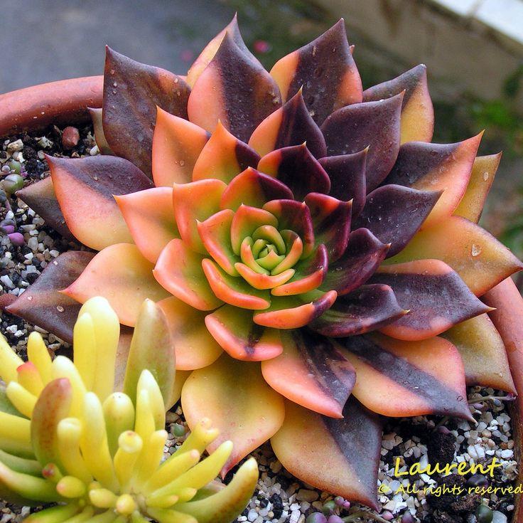 Echeveria 'Bess Bates' (variegated Echeveria 'Black Prince') | Flickr - Photo Sharing!