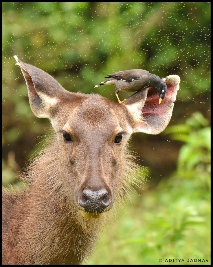 Sambar deer common maina jungle kabini wildlife photography Nikon close-up