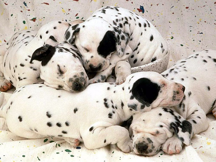 I adore spotted dogs.