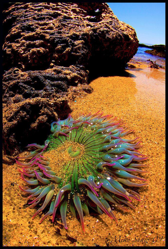 Anémone de mer par Mike Shaw sur Flickr.  Tir ce à marée basse sur 'Hidden Beach' à Monterey en Californie.