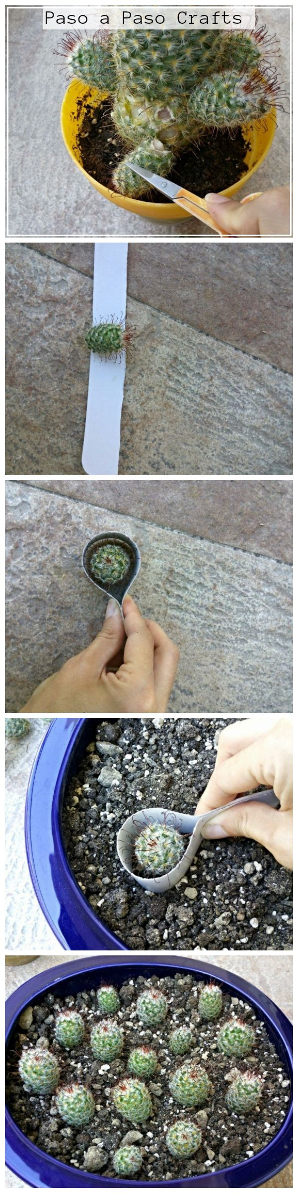 Safe cactus transplantation tutorial