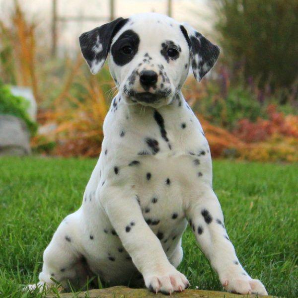 Dalmatian For Sale 25+ best ideas about D...