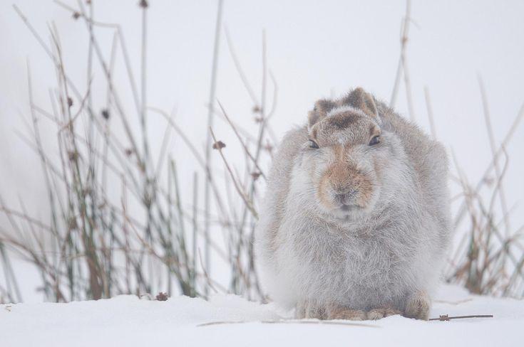 Animal Totem Gallery: Arctic/Tundra Totems: Hare Totem