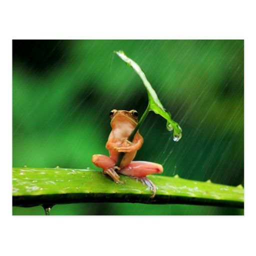 Funny Frog Afraid of Water Postcard - animal, animals, wild, wildlife, frog, frogs, amphibians, funny, funny frog