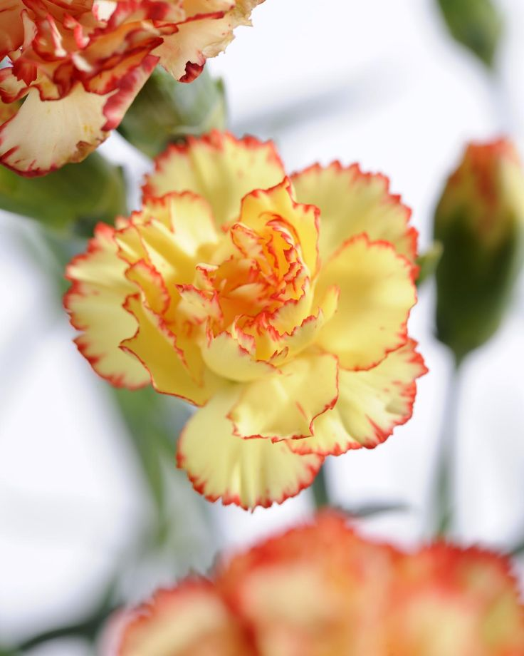 Garofano, o dianthus, giallo tenue con striature rosse e arancio