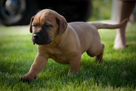 91 best bullmastiff images on pinterest for Every dog needs a home