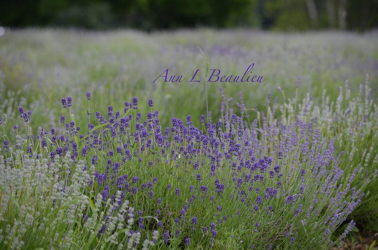 Photo Project 184/365 Bleu Lavande