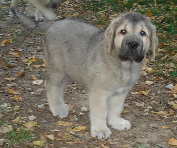 Spanish Mastiff puppy
