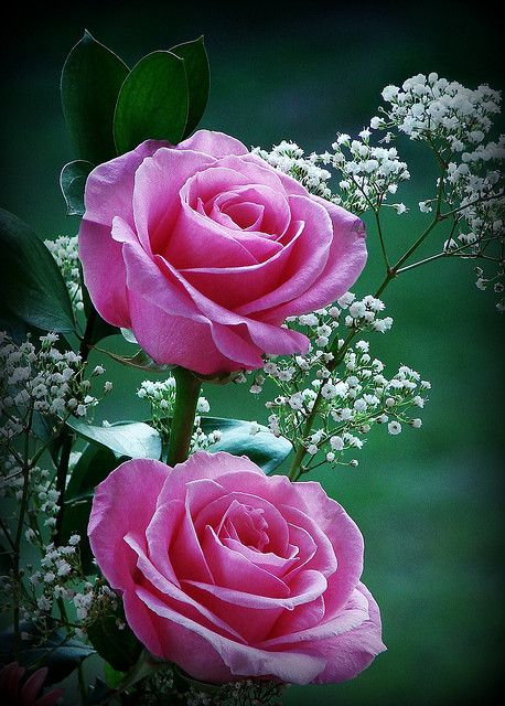 Double the beauty !!!  Gorgeous pink roses.| Flickr - Photo Sharing!