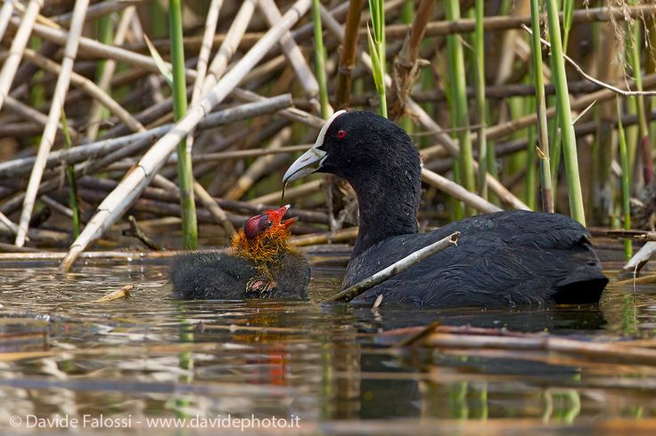 Coot with small by Davide Falossi on 500px