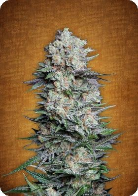 Mexican Airlines Autoflowering Feminised Seeds