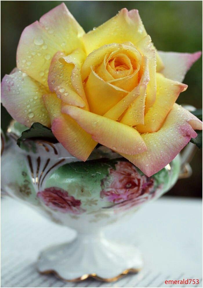 Sárga rózsa a csészében