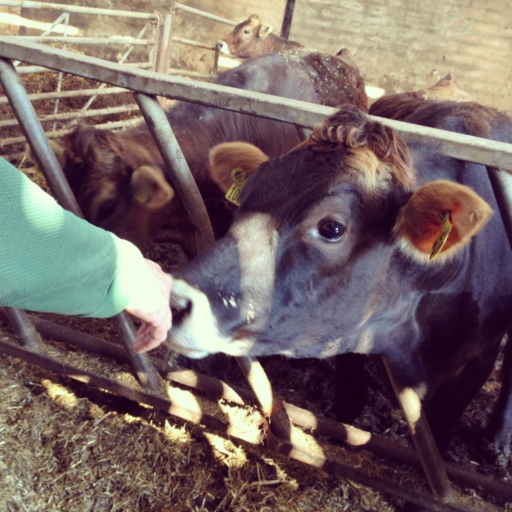 One of our inquisitive Brown Swiss cows
