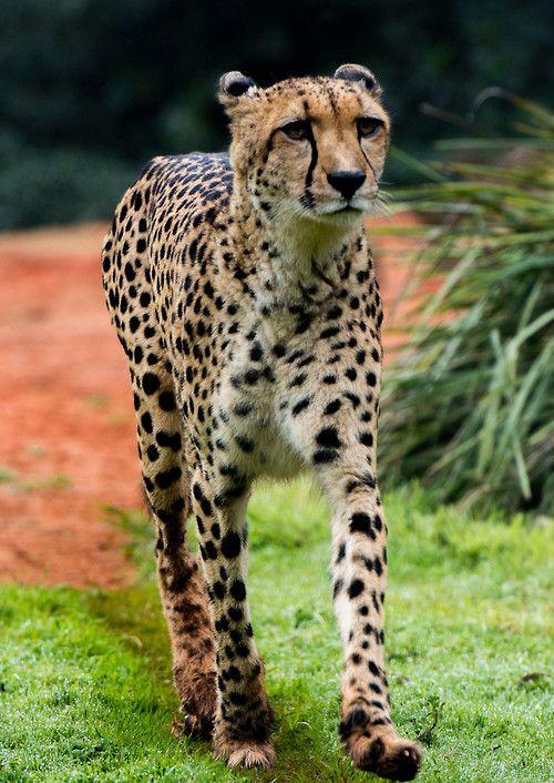 Cheetah by David Whelan